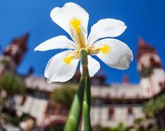 #nature @ihavethisthingwithflorida  Springtime in the courtyard in Flagler College.  #FlaglerCollege #flaglerlife #flstofmind #lovefl #springtime #springbreak #naturepics #nature #naturelovers #naturephotography #lovenature #canon #naturegram #garden #beautiful #undertheweather #instalike #natureporn #nikon #naturelover #selfie #tbt #yellow #natureaddict #flower #spring