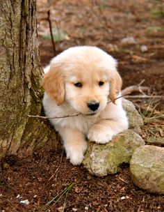golden retriever puppy ~ Takoda