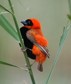 Southern Red Bishop | ©Jared Hersch | Euplectes orix (Passeriformes - Ploceidae) - Sundays River Valley Local Municipality, Eastern Cape, South Africa.