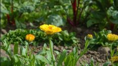 It isn't a well known as basil or thyme, but calendula should have a spot in every herb garden. Wondering how to start growing calendula? Perennial Ground Cover, Ground Cover Plants, Small White Flowers, Orange Flowers, Growing Vegetables Indoors, Calendula Benefits, Uses For Coffee Grounds, Powdery Mildew, Drought Tolerant Plants