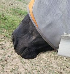 How to deal with sweet itch!   http://www.proequinegrooms.com/index.php/tips/grooming/sweet-itch-not-so-nice/
