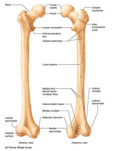 The thigh bone - Stitching Projects Anatomy Bones, Brain Anatomy, Human Body Anatomy, Medical Anatomy, Muscle Anatomy, Anatomy Study, Forearm Anatomy, Skeleton Muscles, Nurse Drawing