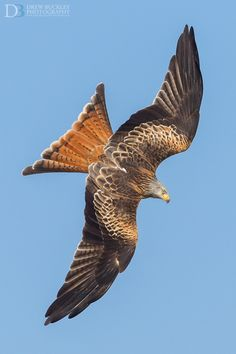 Red Kite by Drew Buckley on 500px