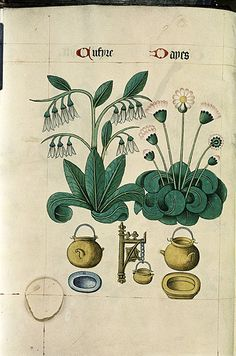 Cumfrey and Daisy, Cauldrons, powter plate, yellow dish. - from the Bodleian MS. Ashmole 1504 ('The Tudor Pattern Book'), is unique in the sense that it is part-bestiary, part-herbal and an important visual record of early cultivated plants. It was produced in East Anglia in about 1520 and its twin (known as the 'Helmingham Herbal and Bestiary' and perhaps a little older than the Ashmole variant) is now part of the Yale Center for British Art collection in Newhaven, Connecticut.