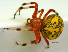 Google Image Result for http://livingwithinsects.files.wordpress.com/2011/12/orbweaver-001.png