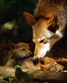 I got: Red Wolf! You can be independent at times, but really, on the inside, you are very caring and will hunt for the injured and sick in your pack.What Kind Of Wolf Are You? Wolf Pictures, Animal Pictures, Wolf Images, Wolf Photos, Beautiful Creatures, Animals Beautiful, Father Wolf, Baby Animals, Cute Animals