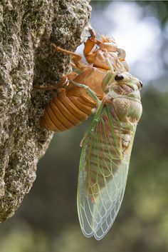 Cicada coming out of it's shell.  -  Rebirth | Flickr - Photo Sharing!
