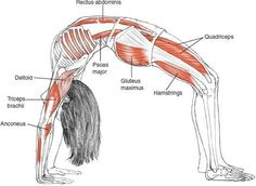"""ynspirations: """"Urdhva Dhanurasana Upward Bow Pose, Wheel Pose © Leslie Kaminoff's Yoga Anatomy B E N E F I T S — Stretches the chest and lungs — Strengthens the arms and wrists, legs, buttocks,. Fitness Workouts, Yoga Fitness, Hata Yoga, Yoga Ashtanga, Yoga Muscles, Mudras, Online Yoga Classes, Yoga Sequences, Asana"""