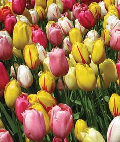 Single Late Mix Tulip Bulbs, Flower Bulbs at Burpee.com works well with murelli tulip mix