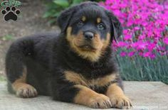 Howard, Rottweiler puppy for sale in Stevens, Pa