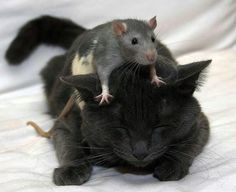 I had a cat once like this - she moved her paws out of the way to give a mouse more room.  best friends :) - Pixdaus