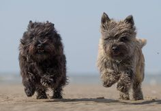 Running Cairns Terrier Dog Breeds, Cairn Terriers, Bull Terrier, Doggies, Pet Dogs, Dogs And Puppies, Animals And Pets, Cute Animals, Dog Ramp