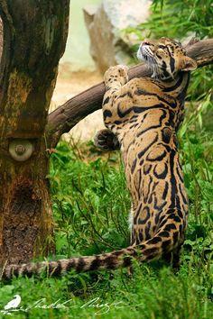 Clouded leopard (Neofelis nebulosa) by PhotoDragonBird on DeviantArt Animals Amazing, Majestic Animals, Rare Animals, Animals And Pets, Big Cats, Cool Cats, Beautiful Cats, Animals Beautiful, Clouded Leopard