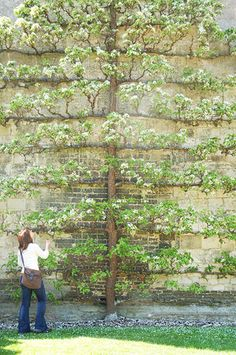 Espalier apple tree.  I'd love to espalier a fruit tree, or magnolia grandiflora against the eastern wall of the house