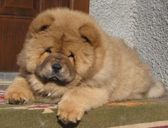 My absolute favorite dog! Love chows!
