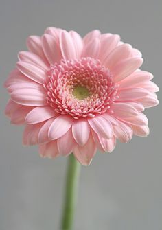 flores frases Gerbera daisy Not my Favorite colour though Gerbera daisy Not my Favorite colour though Small Pink Flowers, Exotic Flowers, Amazing Flowers, Pink Roses, Beautiful Flowers, Pink Gerbera, Gerbera Daisies, Daisy Flowers, Pink Hydrangea
