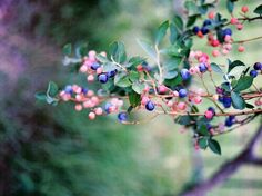 springing berries.