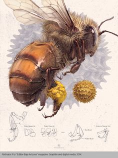 vintage honeybee & pollen illustration