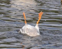 British Birds: Bruce the Goose Entertains With Canoe Rolls Duck Breeds, Spring Sign, Photo Journal, Bird Pictures, Dnd Characters, Cute Funny Animals, Canoe, Wildlife, Birds