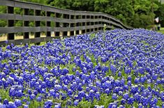 World's Best Places to See Beautiful Flowers - Texas Hill Country