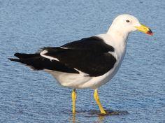 Olrog's Gull  (Larus Atlanticus). By Claudio Timm.