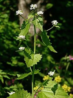 Litulaukka, Alliaria petiolata - Kukkakasvit - LuontoPortti
