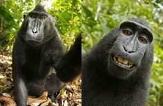 "Wikipedia Won't Take Down Macaque Selfie Because the ""Monkey Owns It"" http://gawker.com/wikipedia-wont-take-down-macaque-selfie-because-the-mo-1616872553"