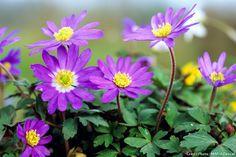"""Anémone de printemps - anemone blanda 'Blue Shades"""". Cette anémone fleurit vers le mois d'avril et permet de créer de jolis tapis de fleurs au pied des arbres par exemple ou en sous-bois."""