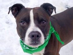 TO BE DESTROYED - 03/21/15 Manhattan Center-P My name is KEITH. My Animal ID # is A1029432. I am a male black and white pit bull mix. The shelter thinks I am about 1 YEAR. For more information on adopting from the NYC AC&C, or to find a rescue to assist, please read the following: http://urgentpetsondeathrow.org/must-read/