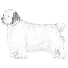 The Clumber Spaniel breed standard illustration.