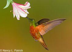 Castanha Breasted Coronet - Equador Hummingbirds
