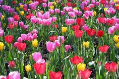 How to Plant Tulips Outside After They Bloom in Pots   eHow.com. Don't water. Wait until leaves yellow.