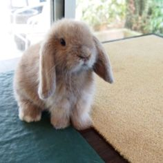 Lop ear aka. the cutest type of bunnies in the world
