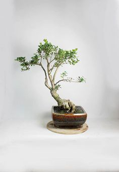 "Okinawa Holly Bonsai Tree ""Spring'16 Theatrical Collection"" from LiveBonsaiTree by LiveBonsaiTree on Etsy"