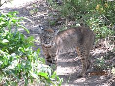 Erick Larson encountered (and photographed) this bobcat on the Corduroy Hills trail in Las Trampas Regional Park.