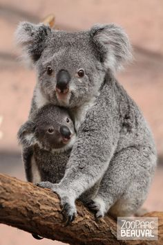 Moeder koala en baby koala, samen zitten ze op een tak.