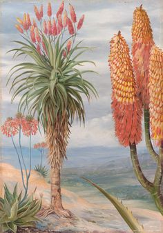 Aloes at Natal by Marianne North Framed Art Print Magnolia Box Size: Extra Large Framed Wall Art, Framed Art Prints, Painting Prints, Marianne North, Canvas Art, Canvas Prints, Leonid Afremov Paintings, Botanical Prints, Fine Art Paper