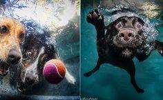 ReproduçãoClicadas por Seth Casteel, fotógrafo especializado em retratar a vida animal, a série 'Little Friends' reúne imagens registradas no exato momento em que cachoros tentam capturar uma bola lançada na piscina.