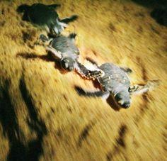 Imagem: Filhotes de tartaruga se arrastam em direção ao mar no Santuário da tartaruga Ma' Daerah, na Malásia.