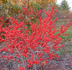 winterberry hollie; not evergreen; birds will eat the berries (maybe use elsewhere in yard). female hollies so you see the berries, male near the magnolia