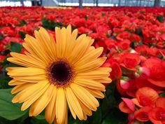 Se potessimo vedere chiaramente il miracolo di un singolo fiore l'intera nostra vita cambierebbe. #buddha #gerbera