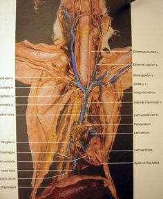 cat arteries and veins diagram | cat dissection overview of veins arteries