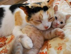 rescued calico cat mama cuddles with her ginger kitten - story: http://lovemeow.com/2012/07/devoted-rescue-cat-mothers-love-for-her-only-ginger-boy/#