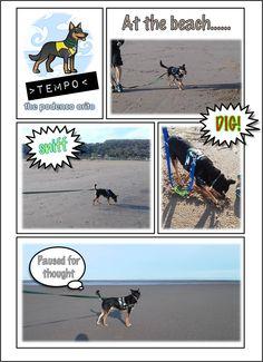 Tempo the rescue dog podenco orito enjoying time at the beach sighthound