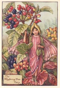 FLOWER FAIRIES 1940's: Wayfaring Tree.Genuine Old Print. Cicely Mary Barker
