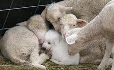 harvestheart: Filhote de cachorro no aconchegante, toasty quente, conforto.  Levado para o rebanho.