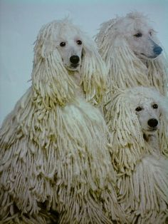 Corded Standard Poodles - LOTS of work, but gorgeous. Gotta have a Bob Marley soundtrack for the show...