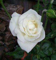JFK white rose from my garden