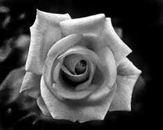 rose black and grey - Google Search
