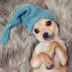 @daisy_and_ludwig chihuahua puppy sooo cute!